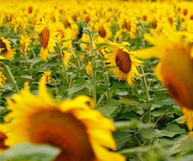Sunflower Fields in Southern Ohio