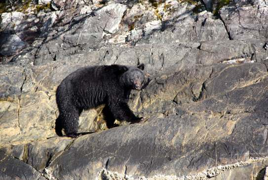 Bear_Watching_Vancouver_Island