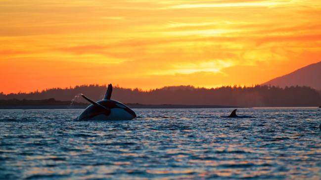 West Coast Aquatic Safaris, Tofino Whale Watching, Tofino, Traveling Islanders