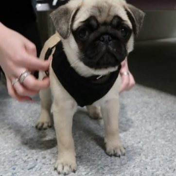 Best dog harness for pugs