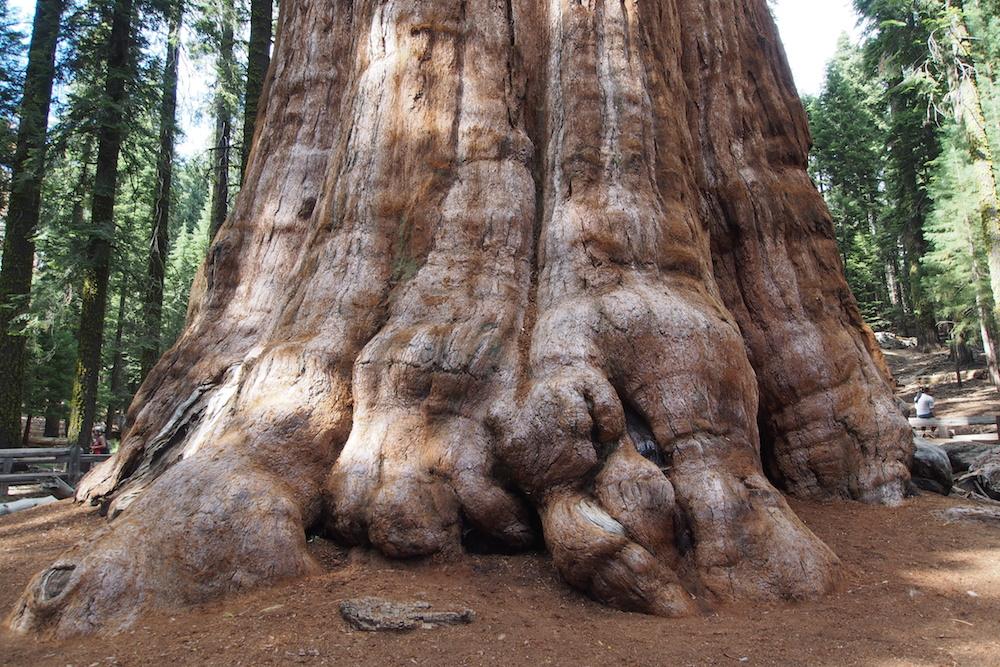 Sequoia Mammutbaum