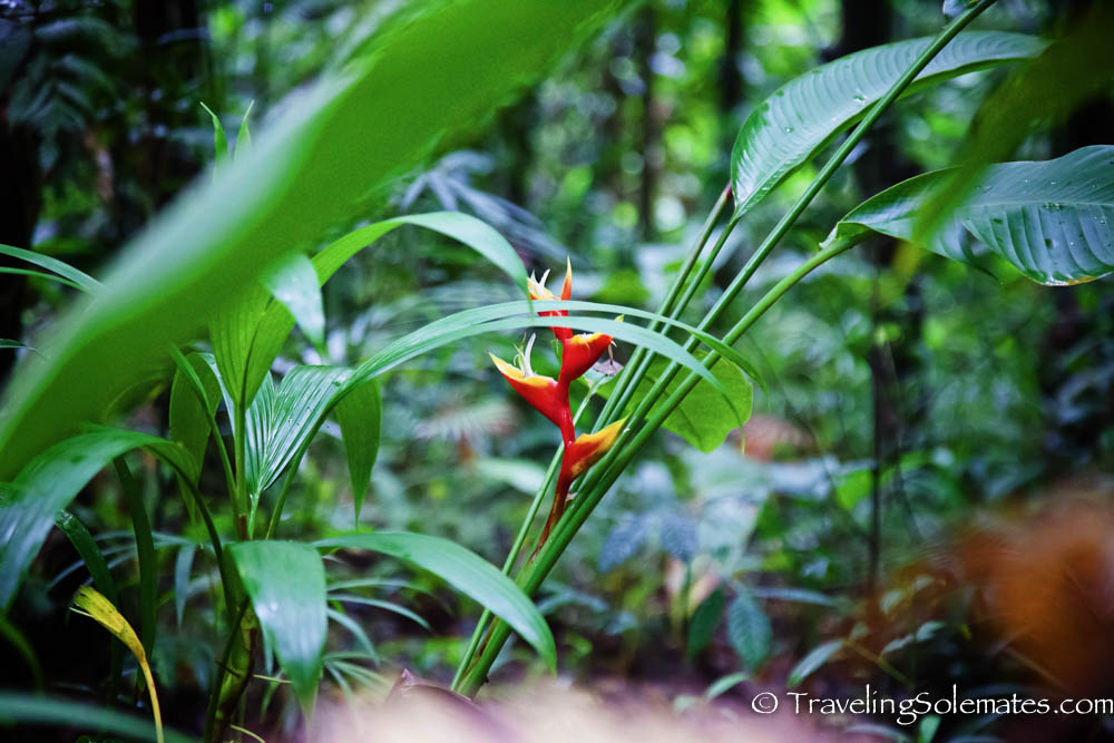 Wild Flowers (Heliconia) along Hike to Boilig Lake, Dominica