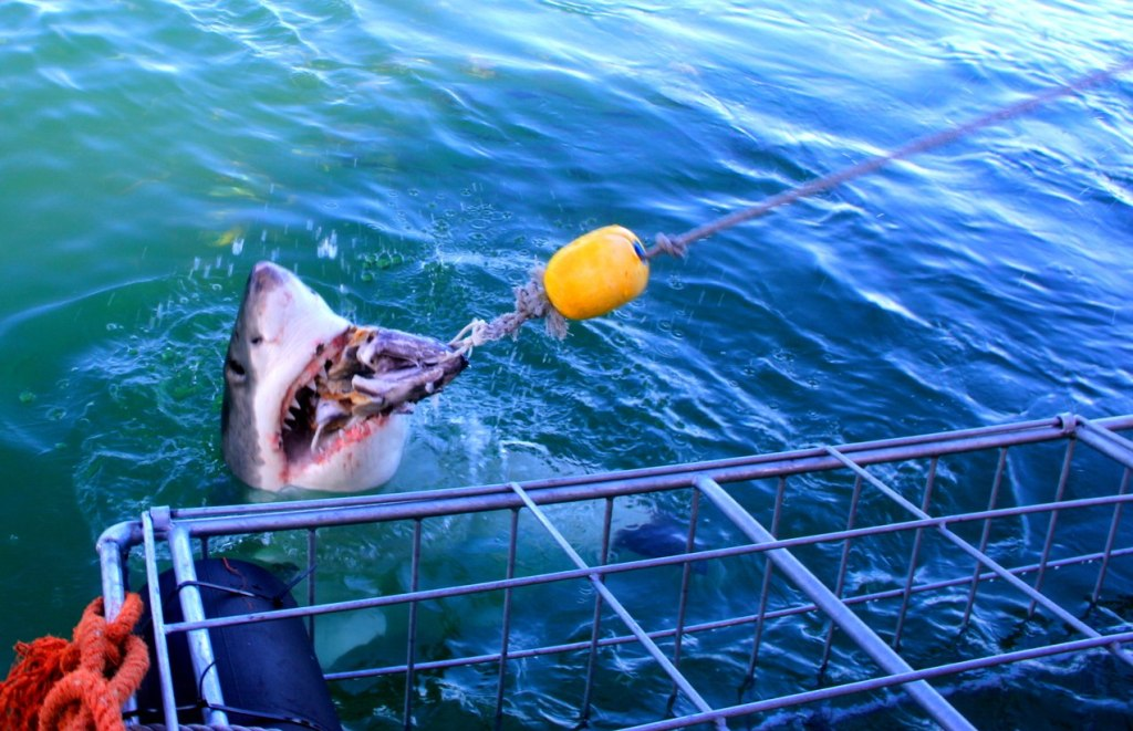 Shark Cage Diving @ South Africa