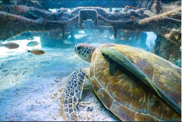 Turtle found near The Taaras Resort!