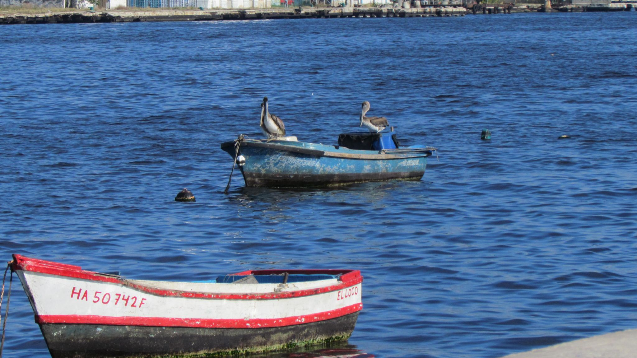 Pelicans seen from Malecón, Havana