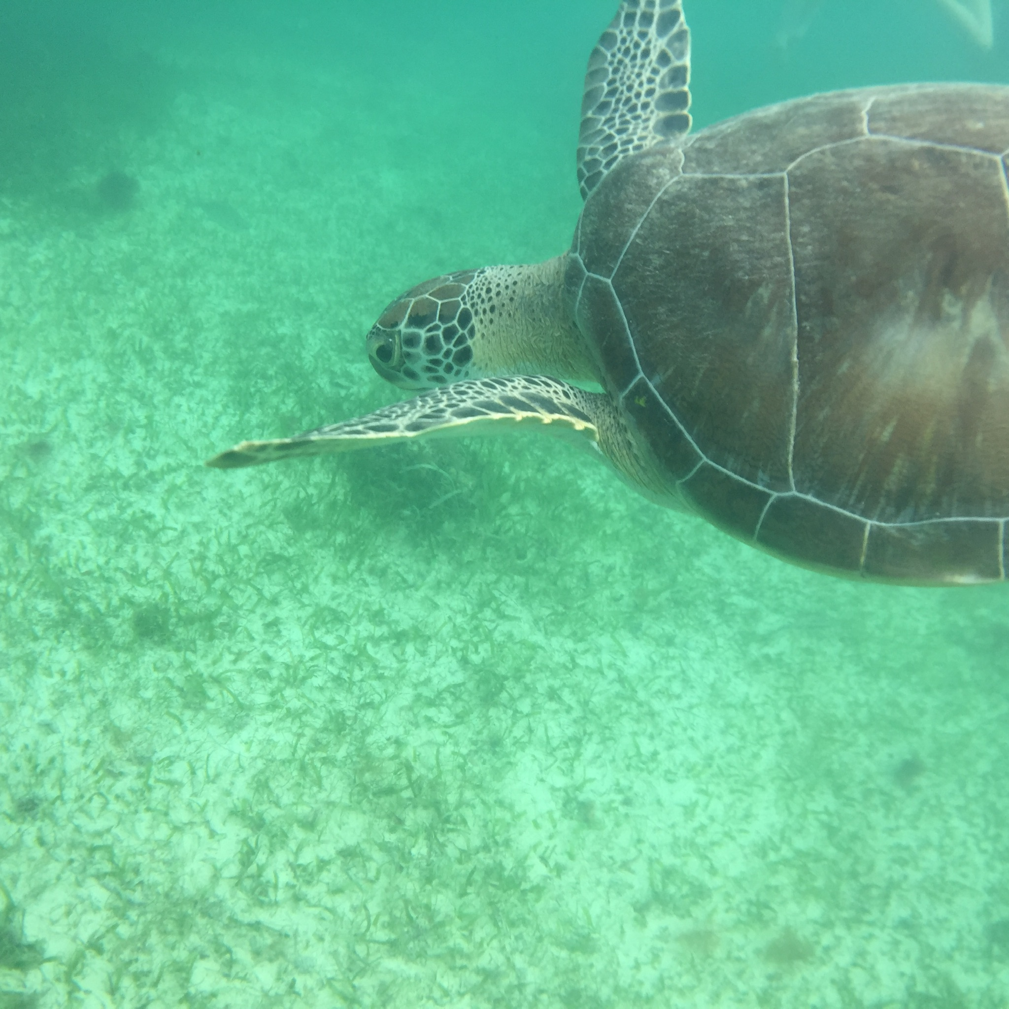 Beautiful Green turtle at Akumal Beach