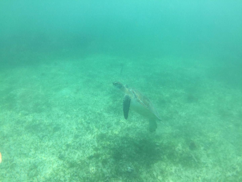 Green turtle Akumal Beach