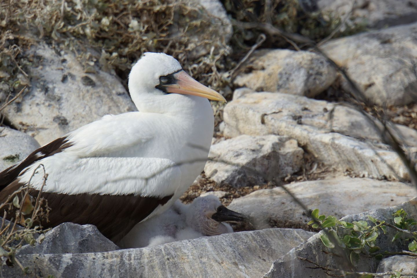Nazca booby on the Galápagos islands