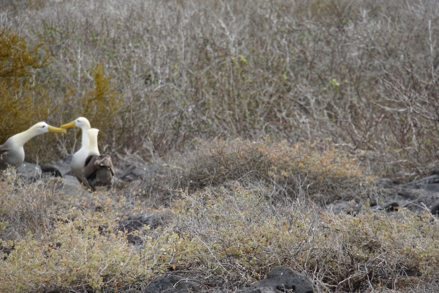 Where to spot the Waved albatross on the Galápagos islands