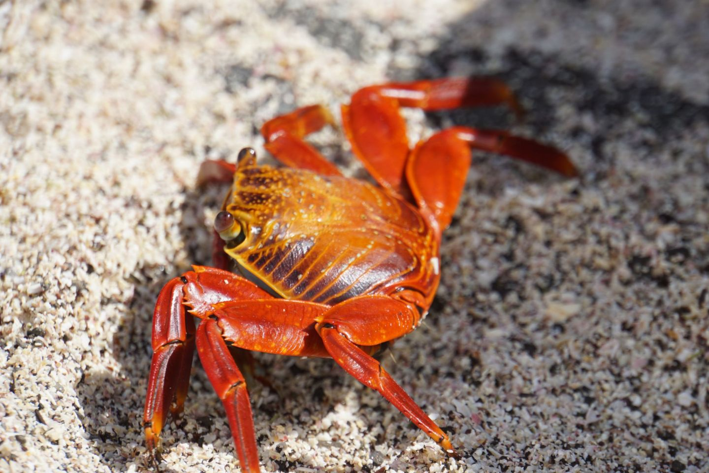 A Sally lightfoot crab on Isla Española on the Galápagos islands.