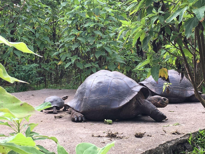 Giant Galápagos tortoise on Isla Floreana