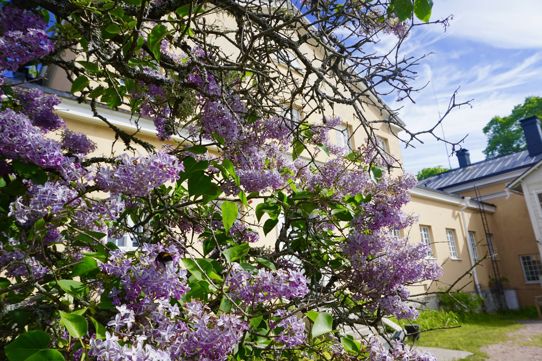 Lilacs on Seili bloom during early summer