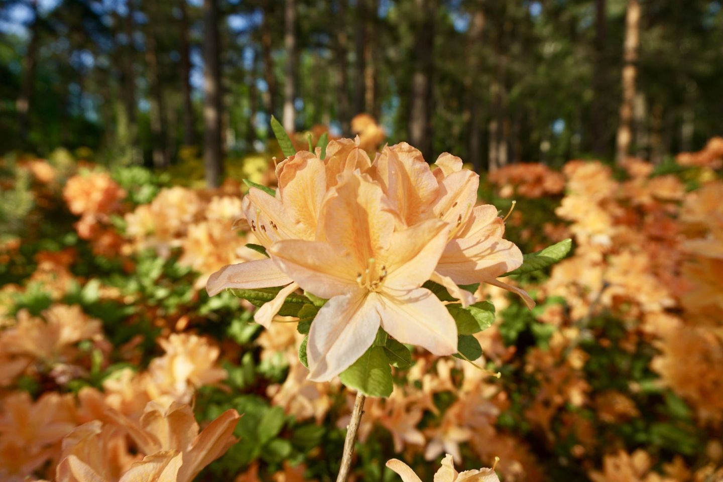 Thousands of rhododendrons and azaleas in full bloom in Alppiruusupuisto