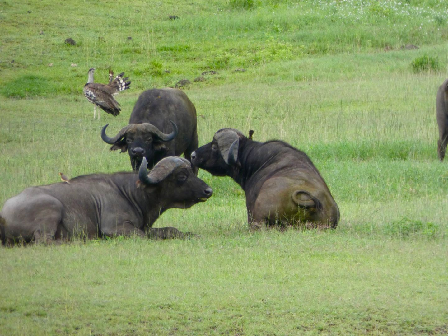 Buffaloes in Ngorongoro Crater