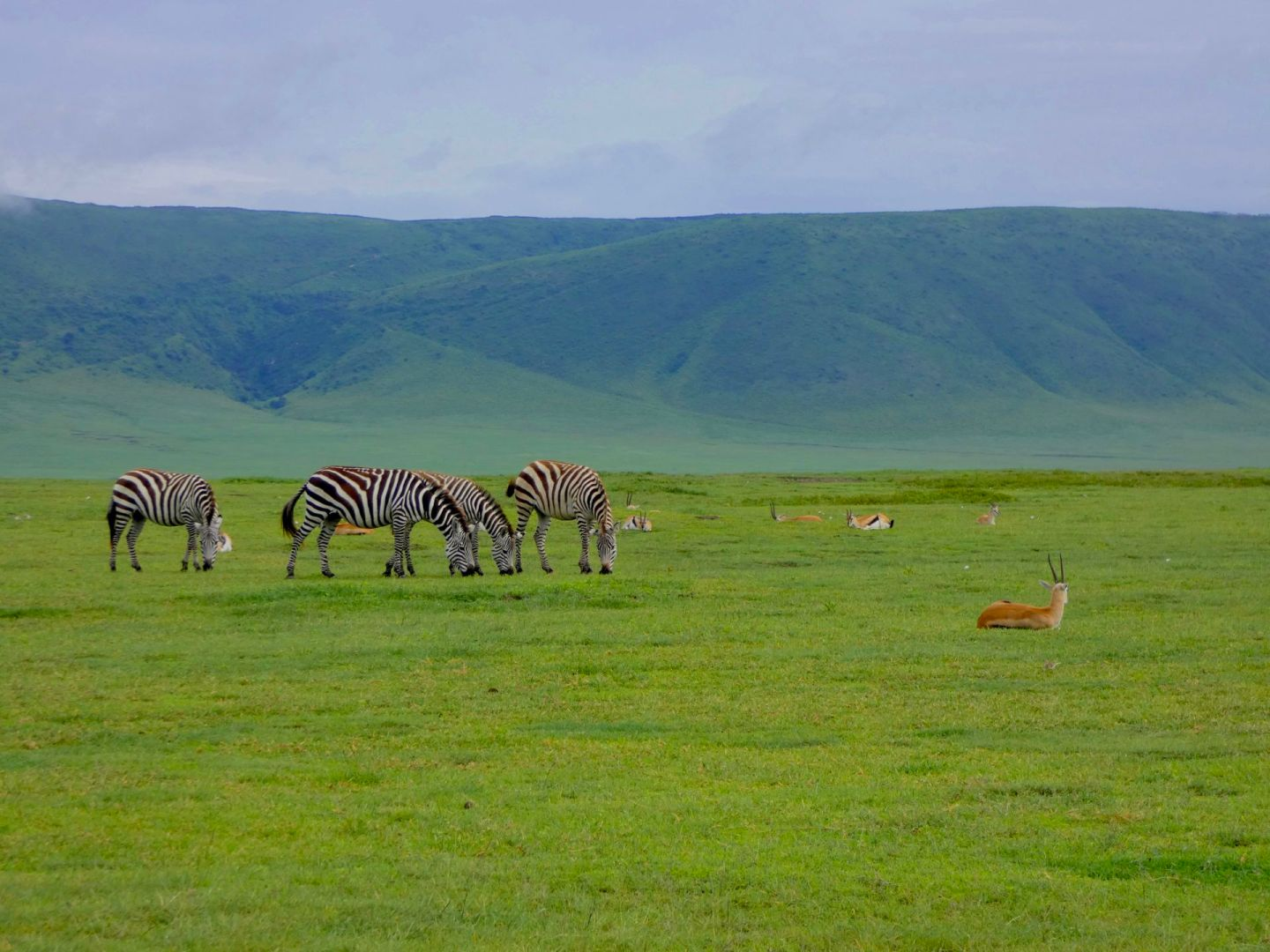 Zebras and gazelles in Ngorongoro Crater