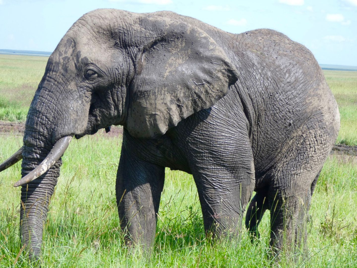 African elephant in Serengeti