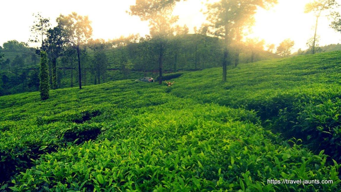 Mornings in a tea estate @ Wayanad