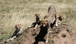 Mother Cheetah with her cubs