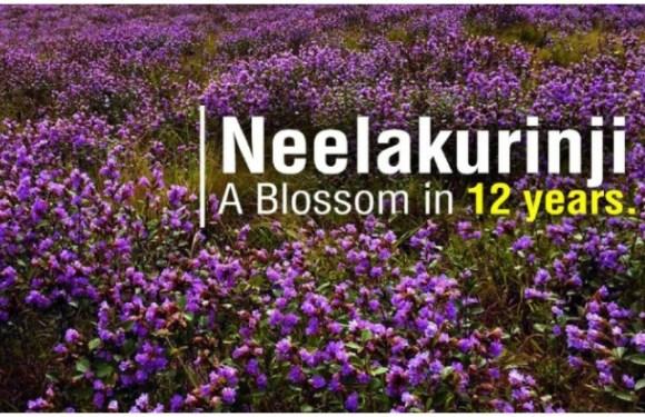 Munnar, Kerala: 12 साल में एक बार खिलता है ये फूल