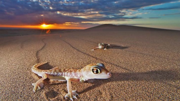 sea of sand a web footed gecko leaves telltale trail in the