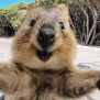 World S Happiest Animal The Quokka Becomes The Most