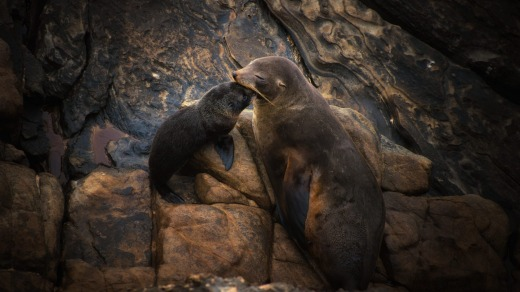 New Zealand Sea Lions at Admiral's Arch in Flinder's Chase National Park, Kangaroo Island, South Australia.