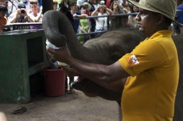 Elefanti Pinnawala7