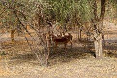 gazzelle Bandia