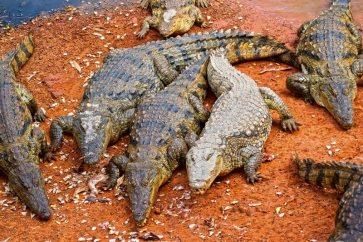 coccodrilli Bandia