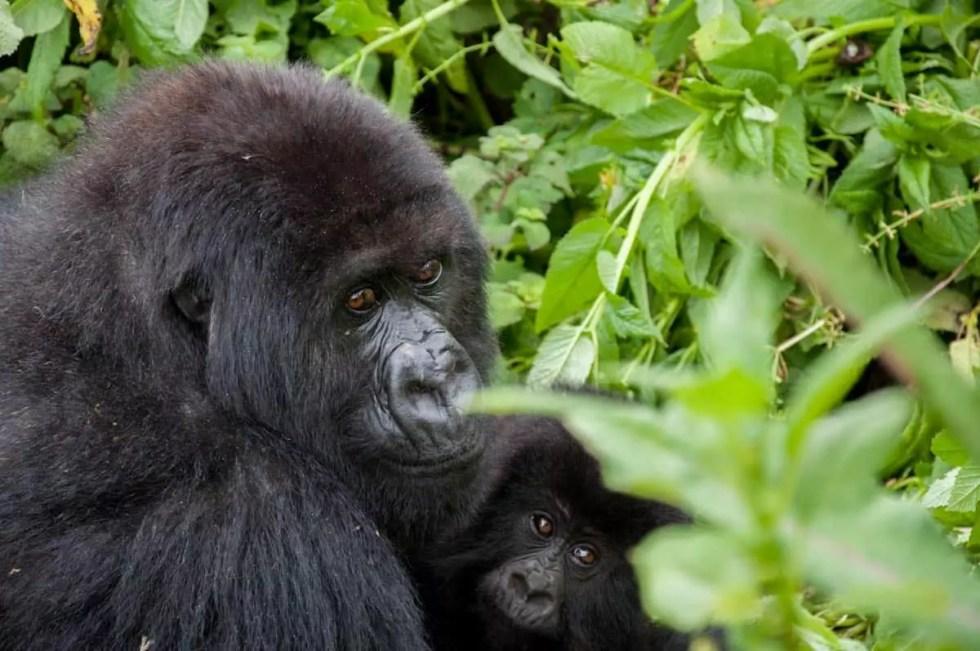 Gorilla family