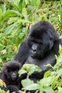Mom and Baby Gorillas