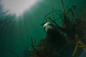 Seals_Diving_Farnes_Islands32