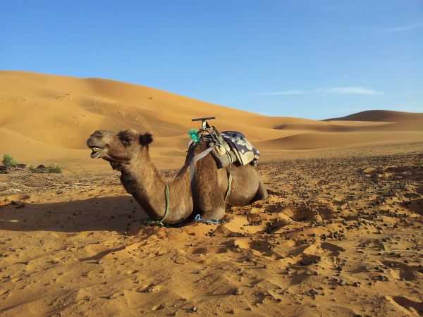 Smiling Camel in the Sahara Desert, Erg Chebbi, Morocco
