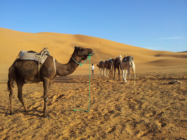 Camels in the sahara, erg Chebbi, Morocco