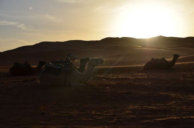 Camels in the sunrise, Erg Chebbi, Sahara, Morocco