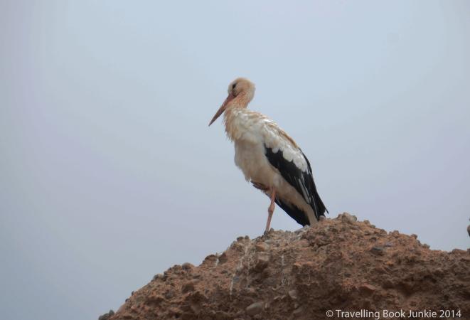 Storks at the el Badi Palace, Marrakech, Morocco
