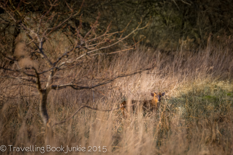 muntjac deer in thetfors forest norfolk uk