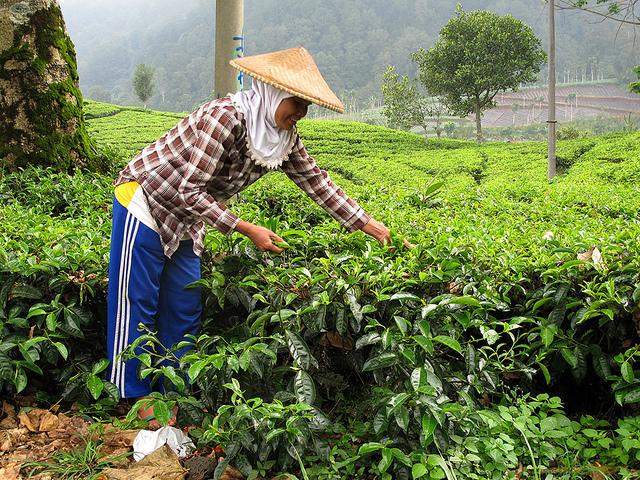 Tea Plantation, Indonesia, Bandung, Visit Indonesia