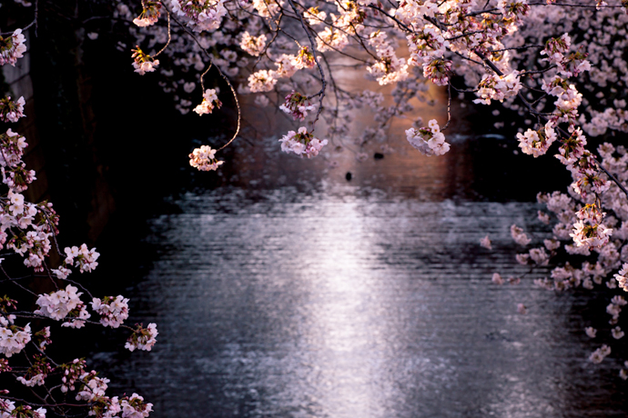 Cherry Blossom, Japan, Tokyo, Asia, Travelling, Travel, Travelling Book Junkie
