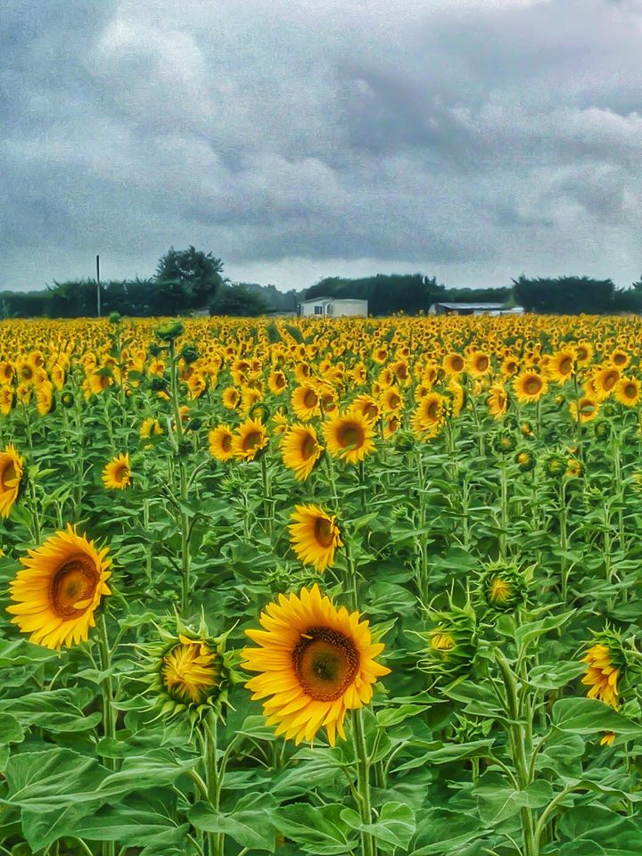 Sunflowers, France, Marennes, Family holidays, travel, Travelling Book junkie