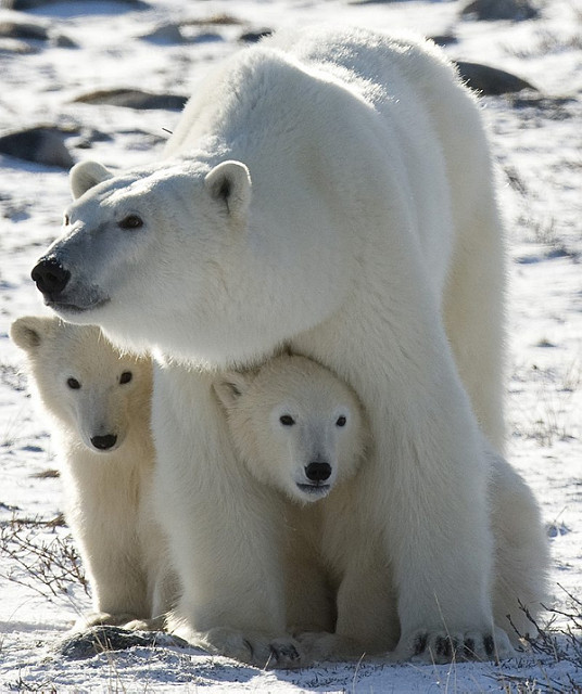 Canada, Polar Bears, Luxury Travel, Travel, Travelling Book Junkie, wish list