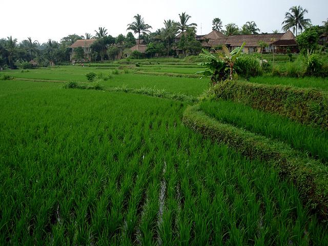 Pady Fields, Ubud, Bali, Indonesia, Travel, Travelling Book Junkie
