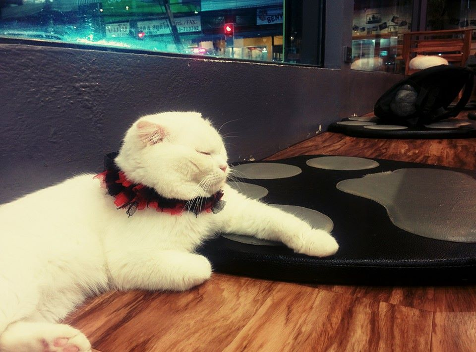 Chiang Rai, Cat Cafe, Temples, Northern province, Thailand, South East Asia