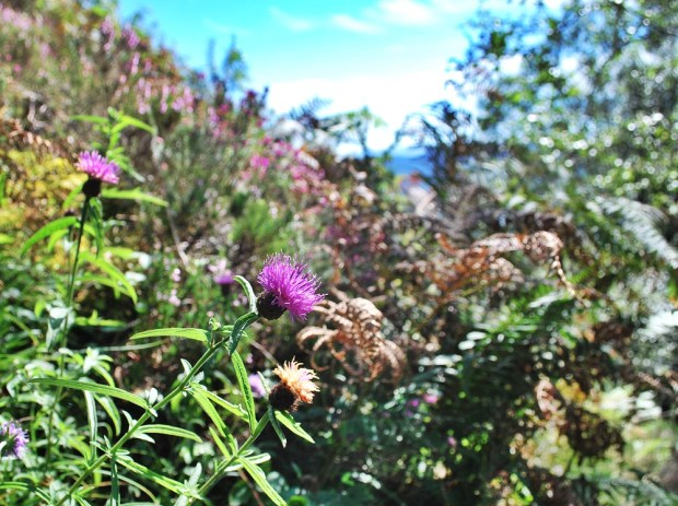 Purple thistles and heather cover the slopes of Ben A'an