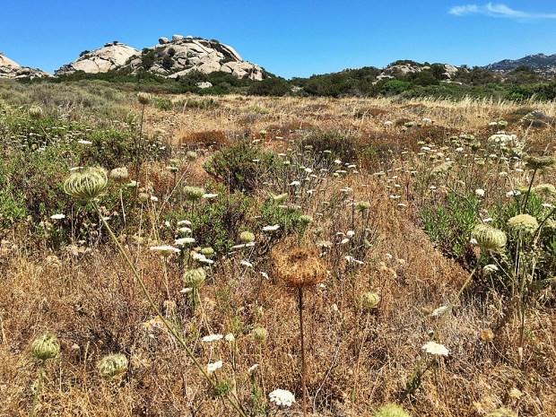 Wildflowers in Sardinia