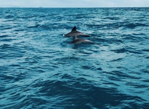 Dolphins Whitsundays
