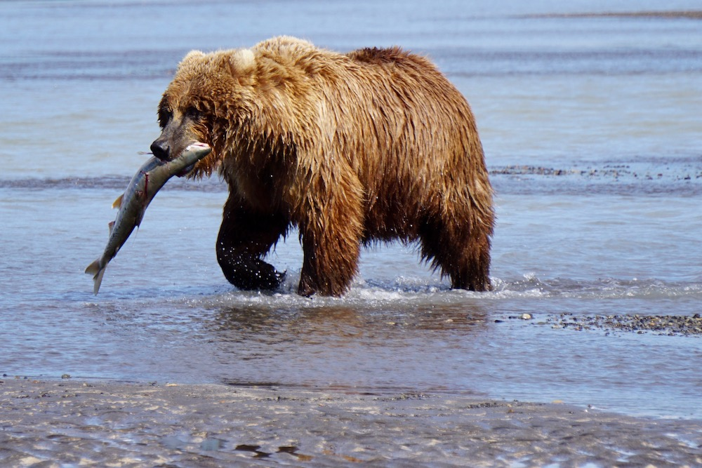 Berenexcursie in Katmai National Park Alaska