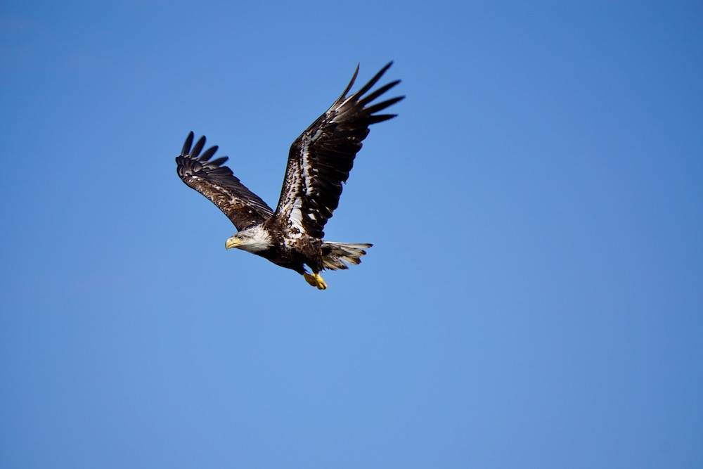 Eagle Katmai National Park Alaska Verenigde Staten