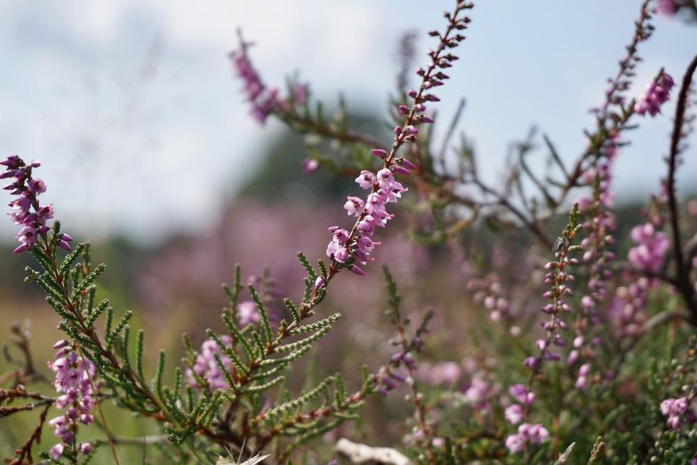 Wanneer bloeit de heide Tafelberg- en Blaricummerheide Nederland