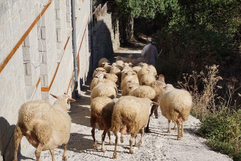 Herder met schapen Metsovo Griekenland